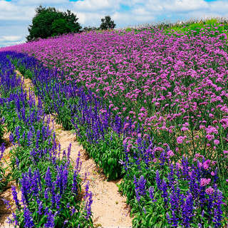 Blue lupins and lilacs